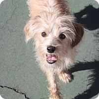 Adopt A Pet :: Rosie - Henderson, NV