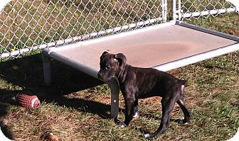 Boxer Puppy for adoption in Northumberland, Ontario - Punkin