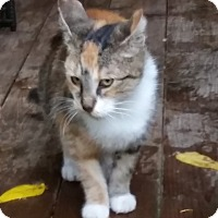 Adopt A Pet :: Sage - Woodstock, ON