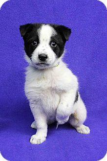 Shepherd (Unknown Type)/Blue Heeler Mix Puppy for adoption in Westminster, Colorado - BORIS