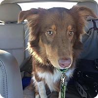 Adopt A Pet :: Bender - Allen, TX