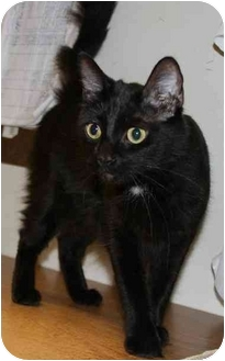 Domestic Mediumhair Cat for adoption in Woodstock, Georgia - J.J.