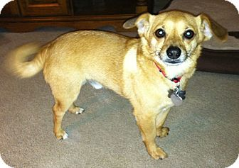 Chihuahua/Pomeranian Mix Dog for adoption in Washington, D.C. - Bernie