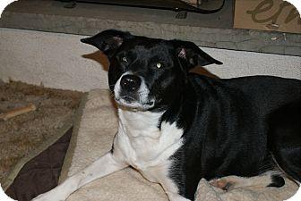 Rat Terrier/Hound (Unknown Type) Mix Dog for adoption in Sparta, New Jersey - Sadie