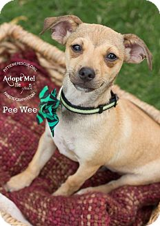 Chihuahua Mix Puppy for adoption in Gilbert, Arizona - Peewee