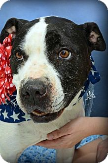 American Pit Bull Terrier Mix Dog for adoption in Houston, Texas - Judy Garland