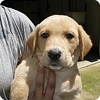 Adopt A Pet :: Henry - Apex, NC