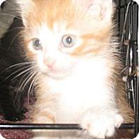Adopt A Pet :: Corky - Acme, PA