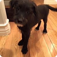 Adopt A Pet :: Dorothy's Pup LB*ADOPTION PEND - Las Vegas, NV
