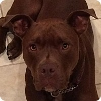 American Staffordshire Terrier/Chesapeake Bay Retriever Mix Dog for adoption in Lawrenceville, New Jersey - Bowser FOSTER