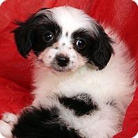 Adopt A Pet :: Jamison Shih ton - St. Louis, MO