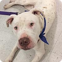 Adopt A Pet :: Hank - Tracy, CA