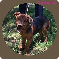 Adopt A Pet :: Cowboy (POM dc) - Plainfield, CT