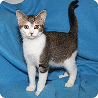 Adopt A Pet :: Splat The Cat (Neutered) - Marietta, OH