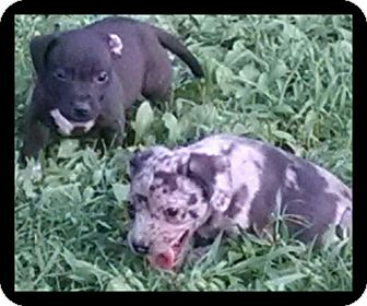 American Staffordshire Terrier Mix Puppy for adoption in Rougemont, North Carolina - Puppies
