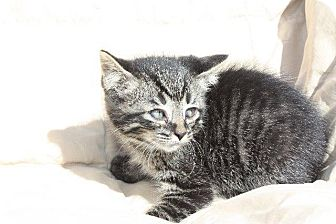 Domestic Mediumhair Kitten for adoption in Angola, Indiana - Fisher