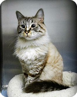 Siamese Cat for adoption in Casa Grande, Arizona - Can-Can