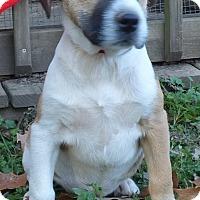 Adopt A Pet :: Vixen - Newburgh, NY