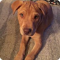 Mastiff Mix Puppy for adoption in oklahoma city, Oklahoma - Pistol