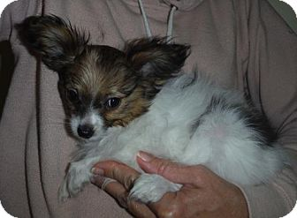 Papillon Puppy for adoption in Manchester, New Hampshire - Petunia Pending