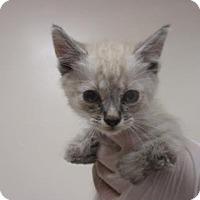 Adopt A Pet :: BRACHIOSAURUS - Reno, NV