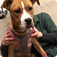 Adopt A Pet :: Zelda - Schaumburg, IL