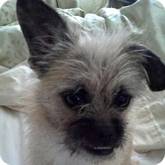 Brussels Griffon/Chinese Crested Mix Puppy for adoption in Ogden, Utah - Shiann