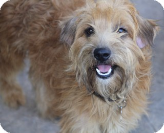 Irish Terrier/Poodle (Miniature) Mix Dog for adoption in Norwalk, Connecticut - Cypress - adoption pending