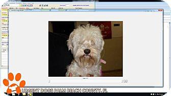 Shih Tzu/Poodle (Miniature) Mix Dog for adoption in Wappingers, New York - Gigi