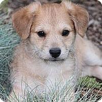 Adopt A Pet :: Snickers - La Habra Heights, CA