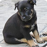 Adopt A Pet :: Rambo - La Habra Heights, CA