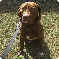 Adopt A Pet :: CJ - Orange Park, FL