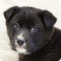 Adopt A Pet :: Nurack - Ile-Perrot, QC