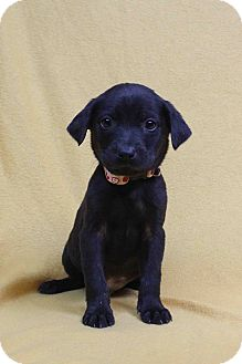 Westminster, CO - Australian Shepherd/Mastiff Mix. Meet ...