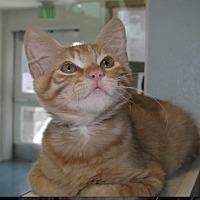 Domestic Shorthair Kitten for adoption in El Cajon, California - Kittens Kittens