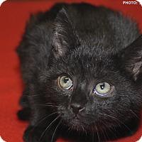 Adopt A Pet :: Bear - Medina, OH