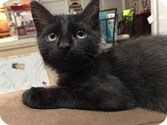 Domestic Shorthair Kitten for adoption in Tampa, Florida - Eddy