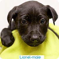 Adopt A Pet :: Lionel - Washington, DC