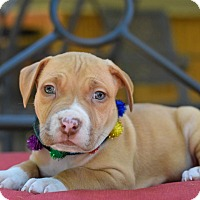 Adopt A Pet :: Pireaux - Baton Rouge, LA