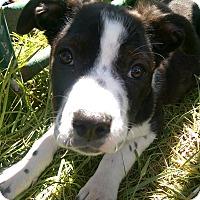 Adopt A Pet :: Pepsi - Ogden, UT