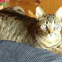 Domestic Shorthair Cat for adoption in Cincinnati, Ohio - Mandy