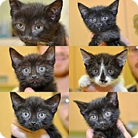 Adopt A Pet :: The Fabulous Flower Kittens - Brooklyn, NY