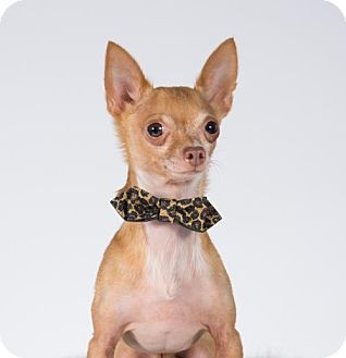 Chihuahua Dog for adoption in St. Louis Park, Minnesota - Cee Lo