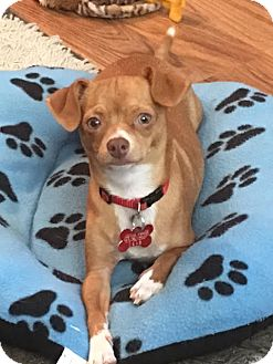 Chihuahua Mix Puppy for adoption in San Diego, California - Missy