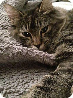 Domestic Mediumhair Cat for adoption in Long Beach, California - Miss Charlee