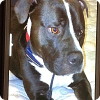Pit Bull Terrier Mix Dog for adoption in Baltimore, Maryland - Duke (COURTESY POST)