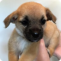 Chihuahua Mix Puppy for adoption in Danbury, Connecticut - Cassie