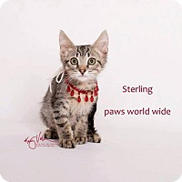 Domestic Longhair Kitten for adoption in Yucca Valley, California - STERLING