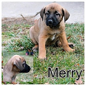 German Shepherd Dog/Labrador Retriever Mix Puppy for adoption in Garden City, Michigan - Merry