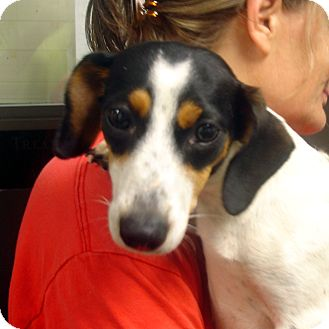 Dachshund/Beagle Mix Dog for adoption in baltimore, Maryland - Mindy